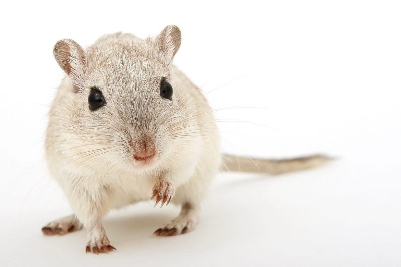 Científicos han observado en el cerebro de ratones anestesiados la consolidación selectiva de la memoria