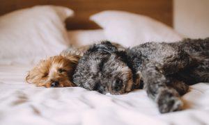 Según un estudio, las mujeres prefieren dormir con sus perros que con sus parejas